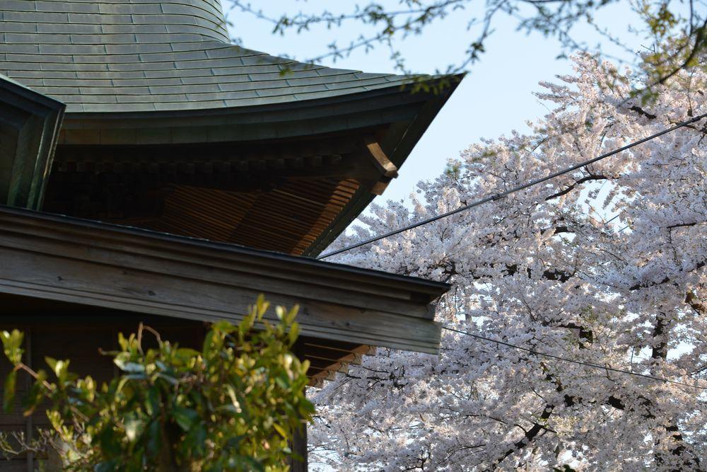 金山神社の桜-3