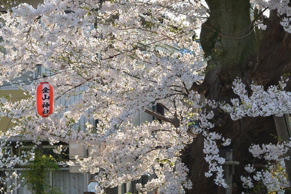 金山神社の桜-5