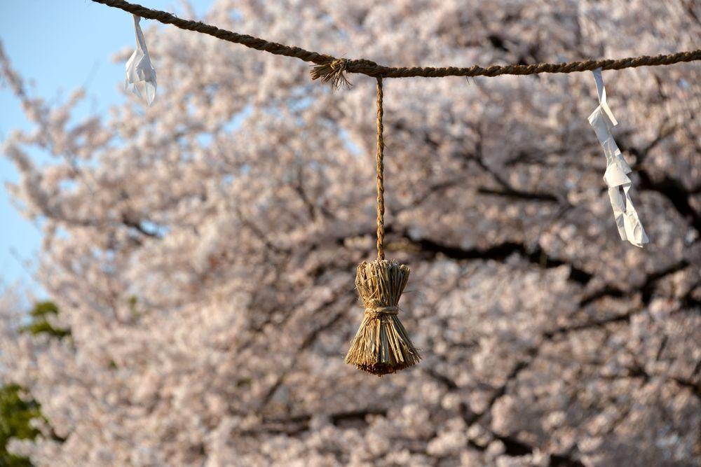 金山神社の桜-7