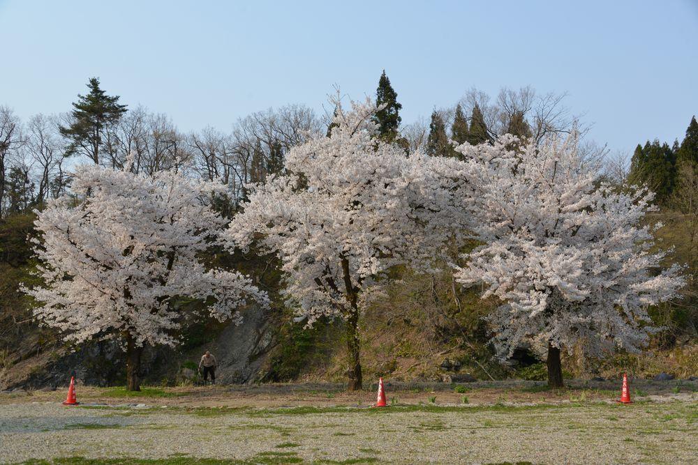 三本桜-1