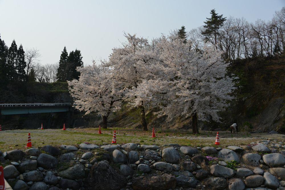 三本桜-2