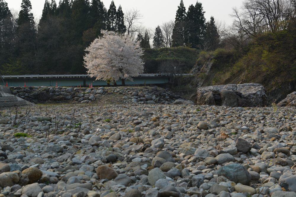 三本桜-3