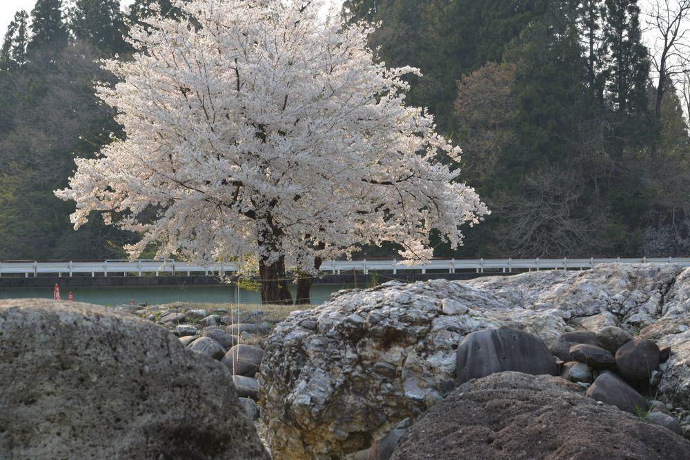 三本桜-4