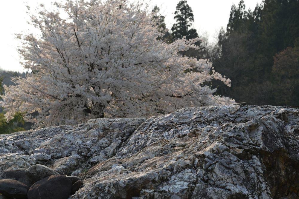三本桜-5