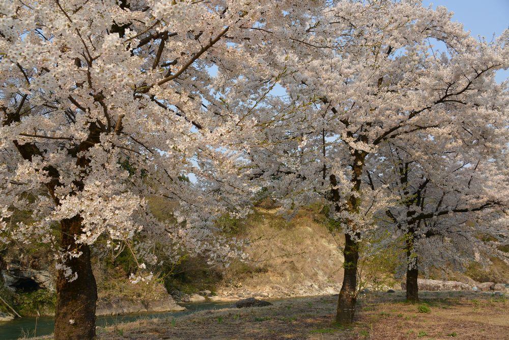 三本桜-6