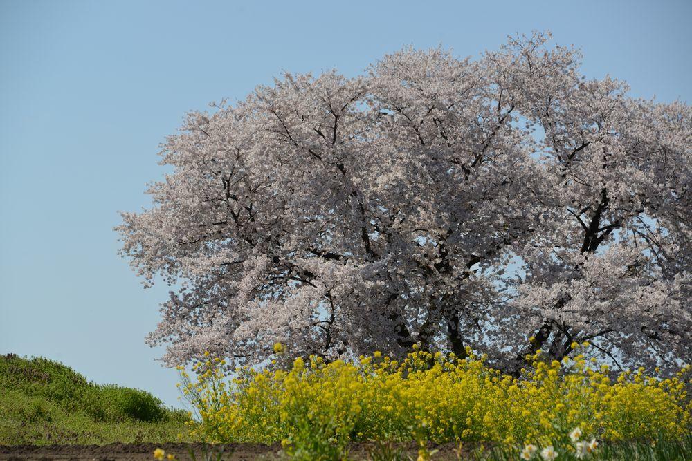 大崎山の桜-1
