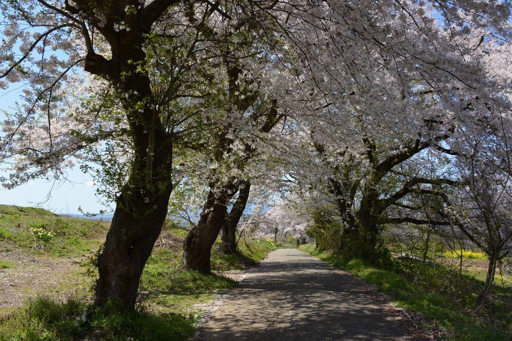 大崎山の桜-2
