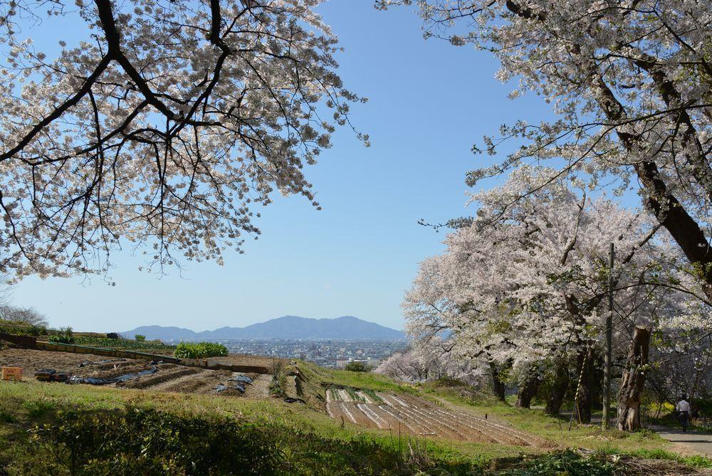 大崎山の桜-3