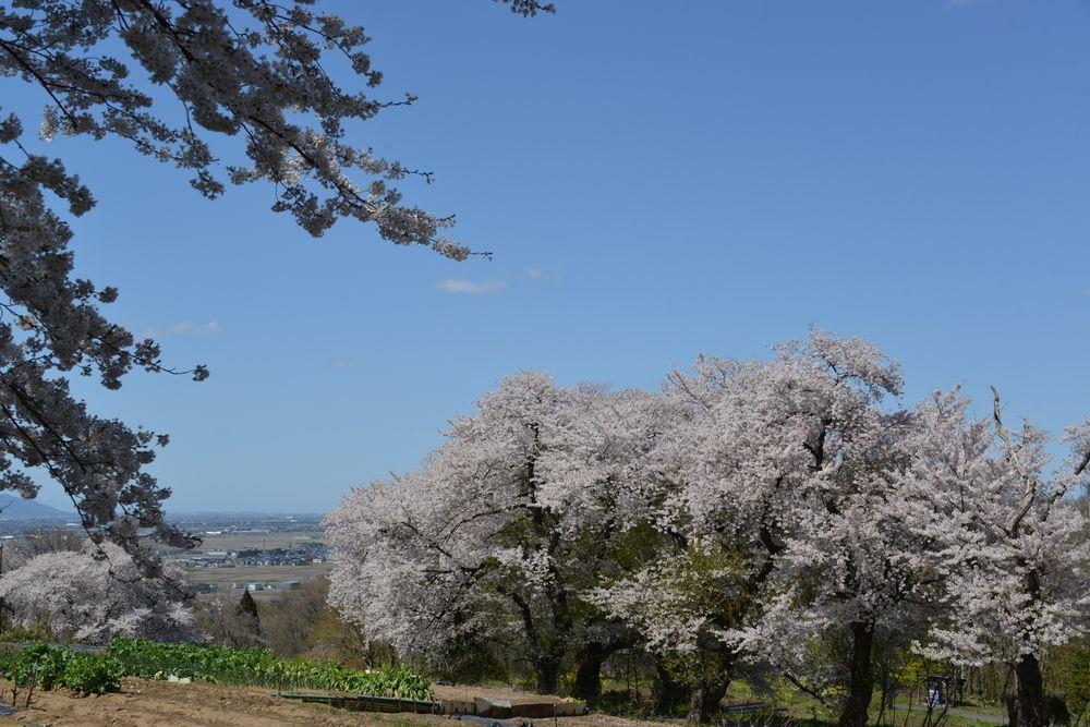 大崎山の桜-4