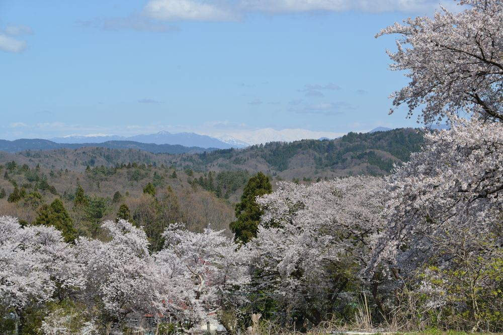 大崎山の桜-6