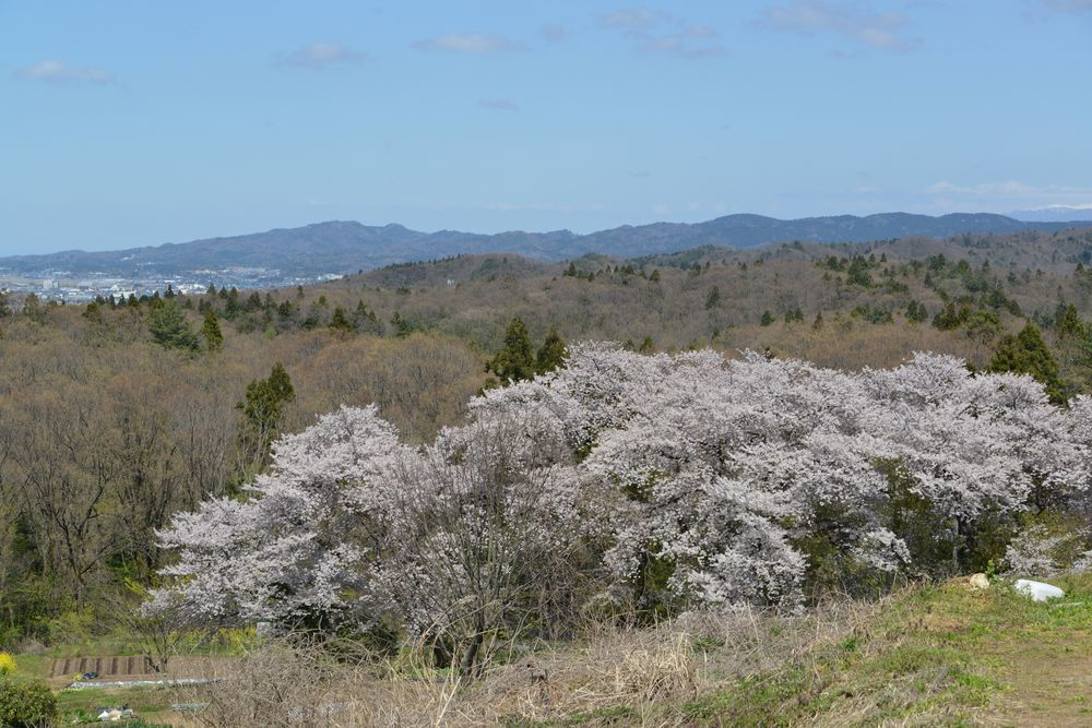 大崎山の桜-7