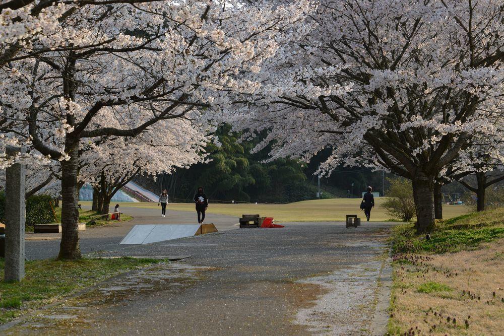 サッカーと桜-3