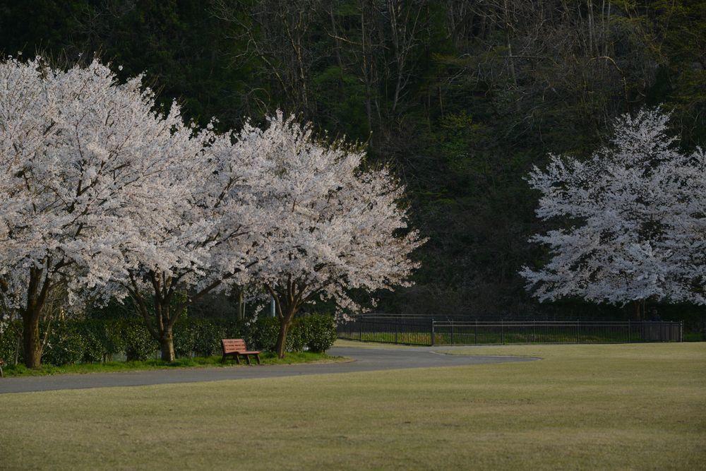 サッカーと桜-4