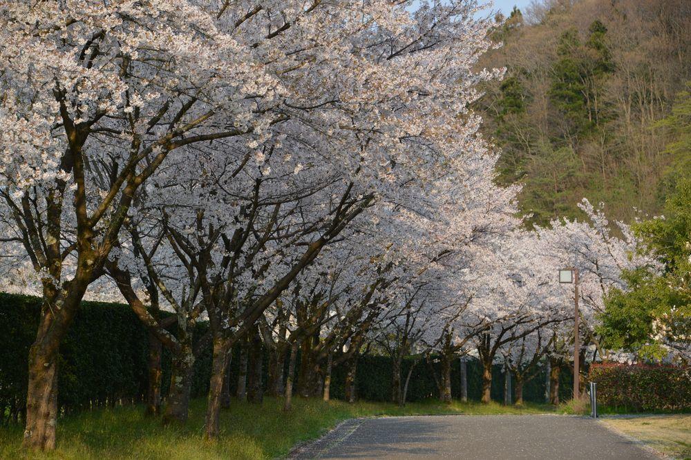 サッカーと桜-7