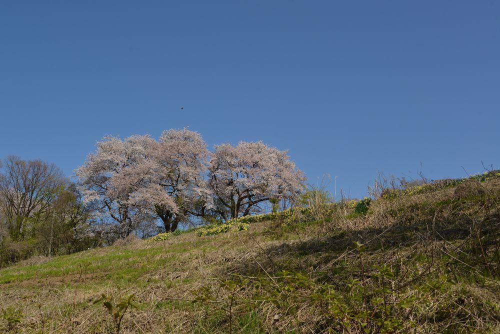 桜と水仙-1