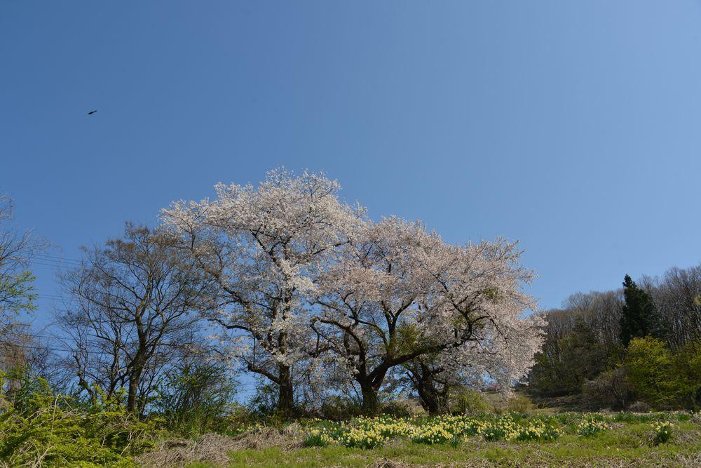 桜と水仙-2