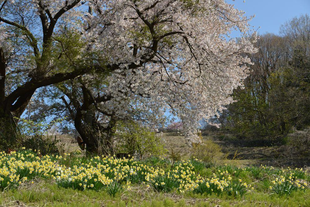 桜と水仙-3