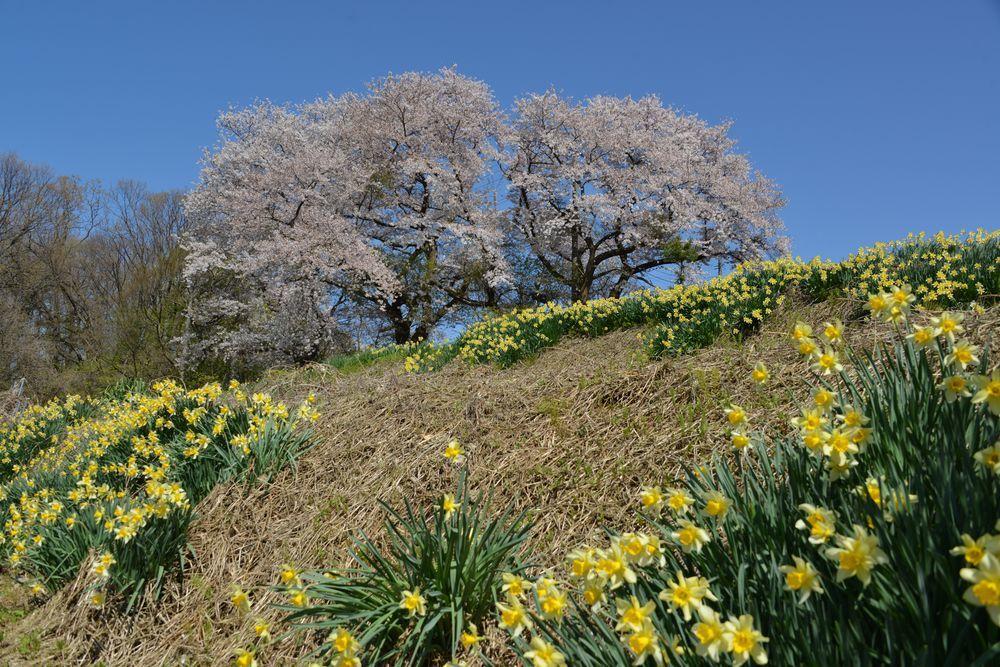 桜と水仙-5