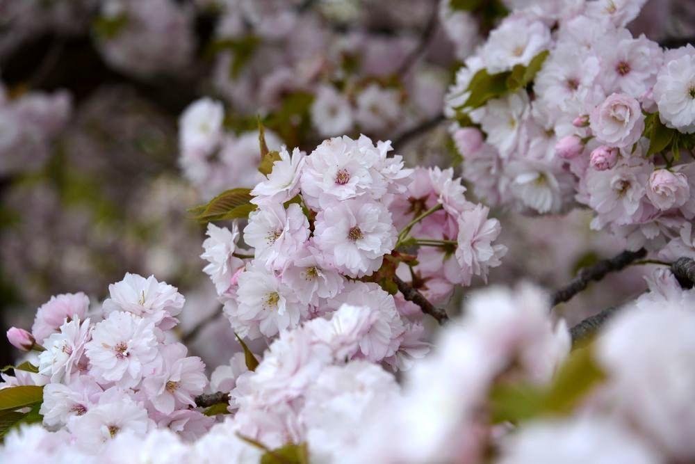 八重桜-2