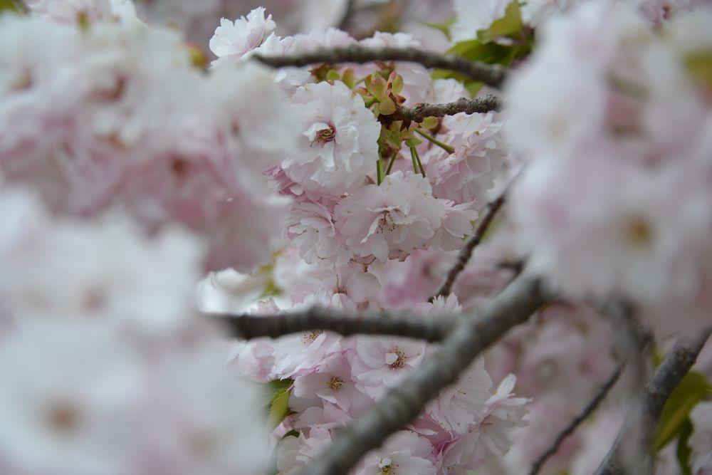八重桜-3