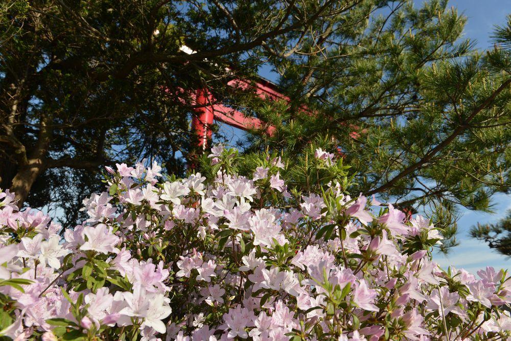 鳥居と花-3