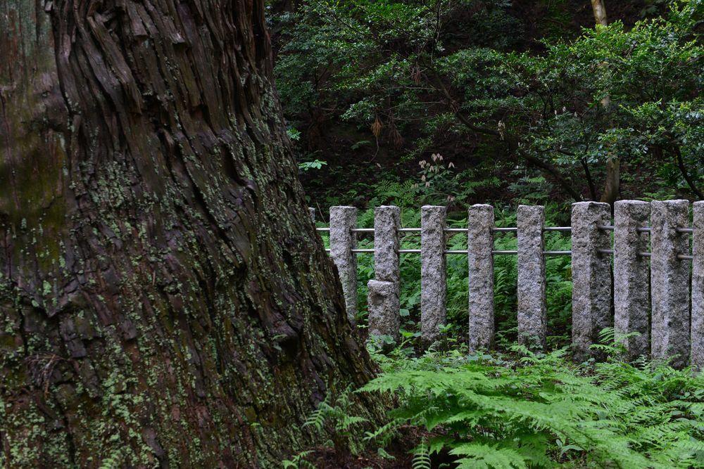 婆々杉-4
