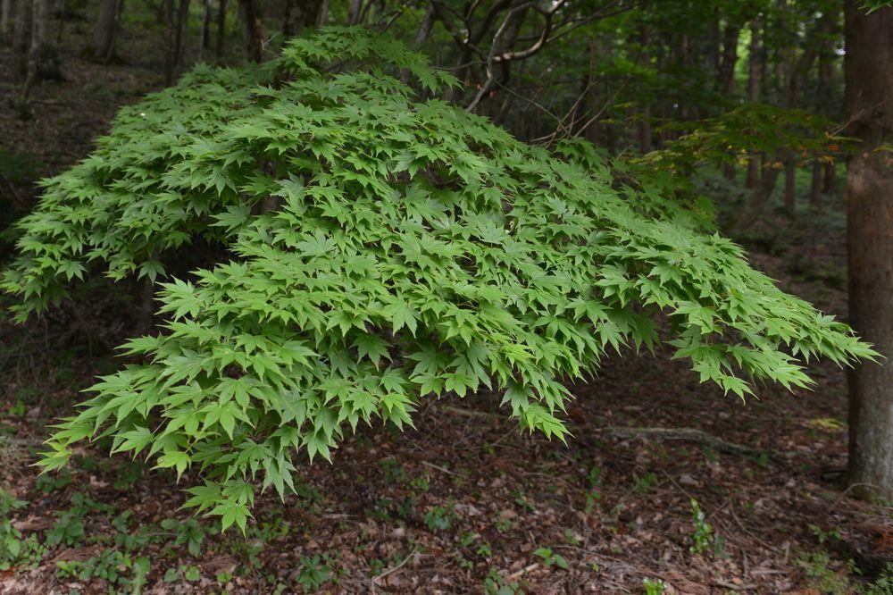 新緑の林-4