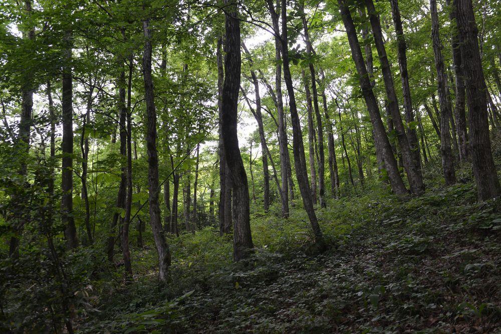 新緑の林-6