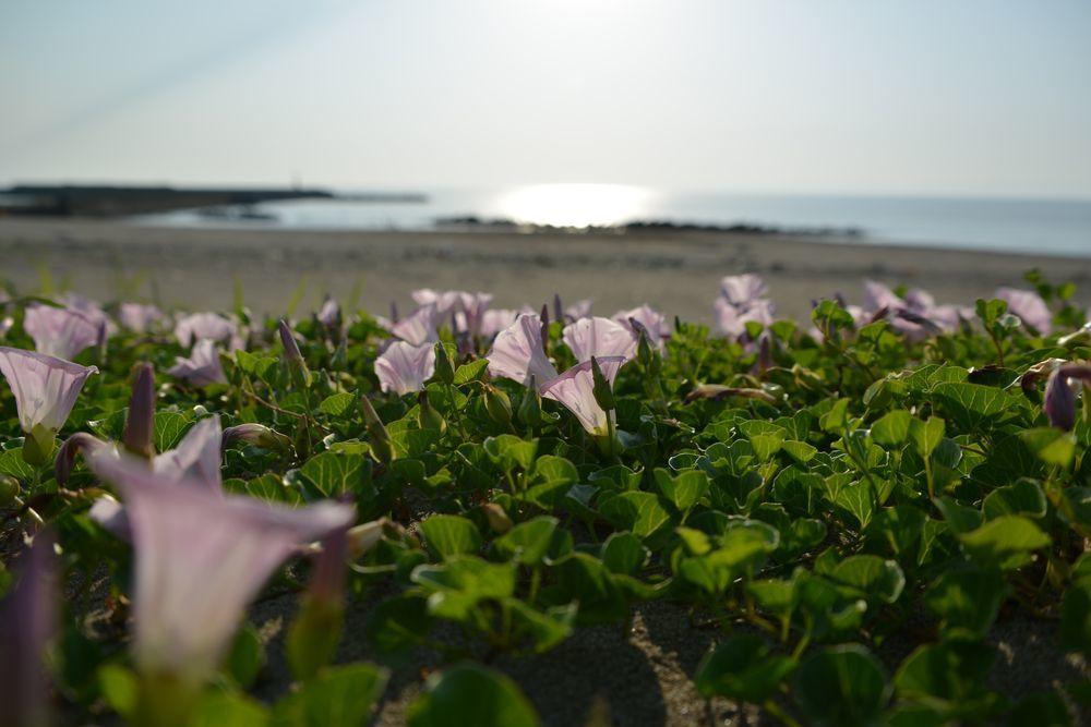 浜昼顔-1