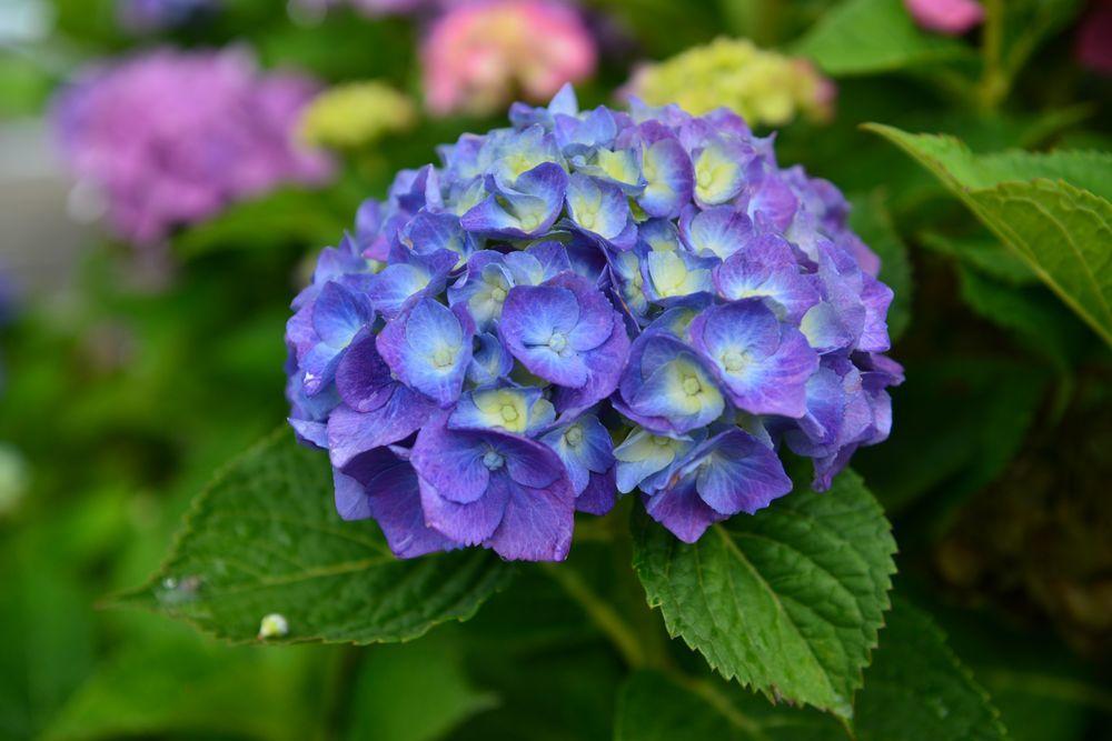 最後の紫陽花-1