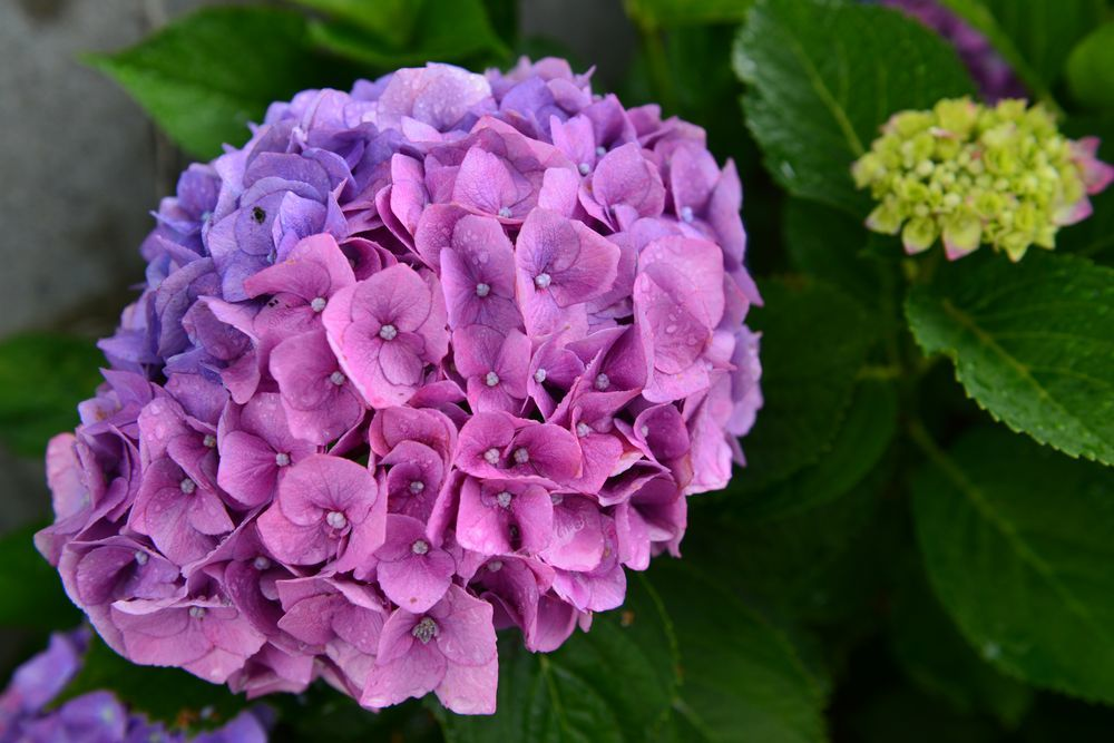 最後の紫陽花-2