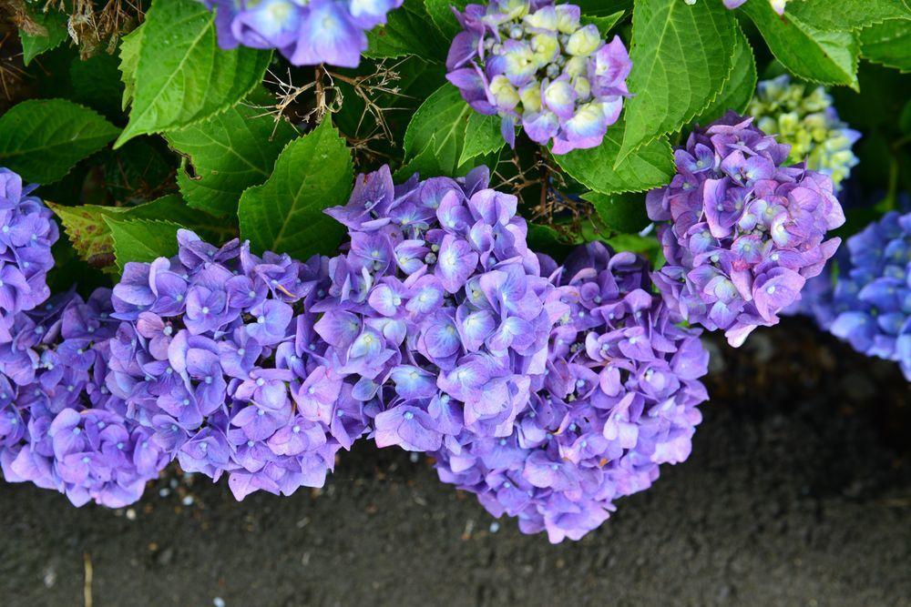 最後の紫陽花-4
