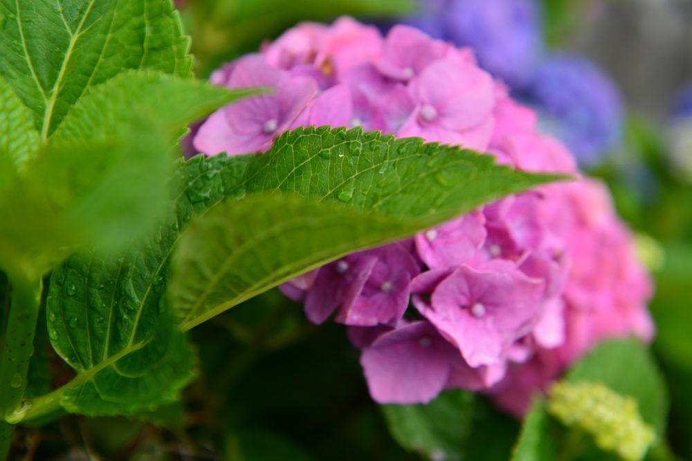 最後の紫陽花-5