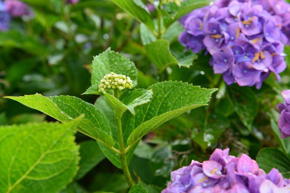 最後の紫陽花-6