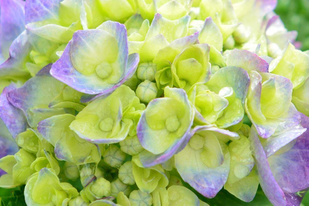 最後の紫陽花-7