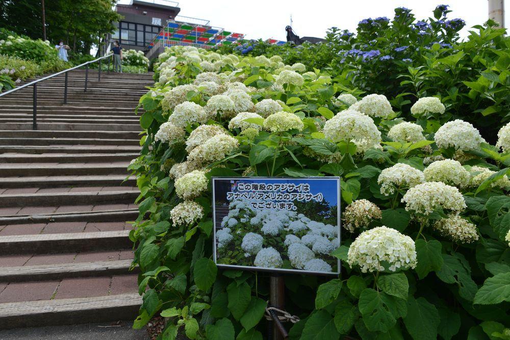 弥彦山頂の紫陽花