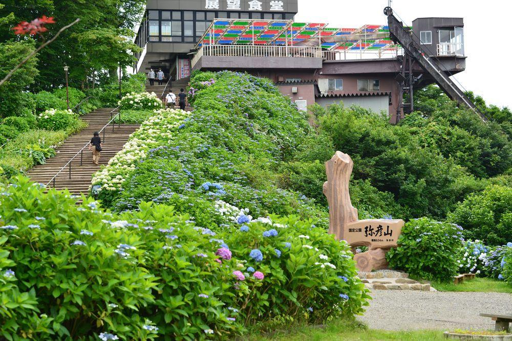 弥彦山頂の紫陽花-6