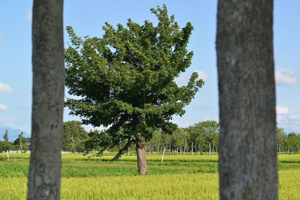 稲架木-1