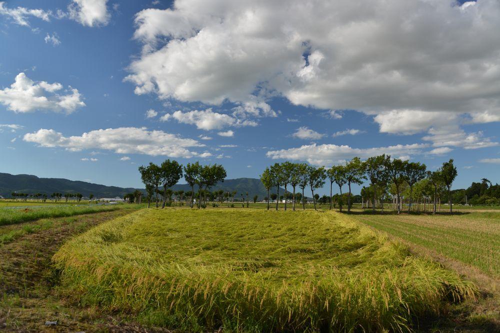 稲刈り期-1