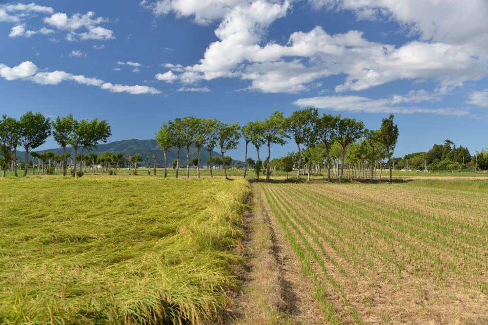 稲刈り期-3