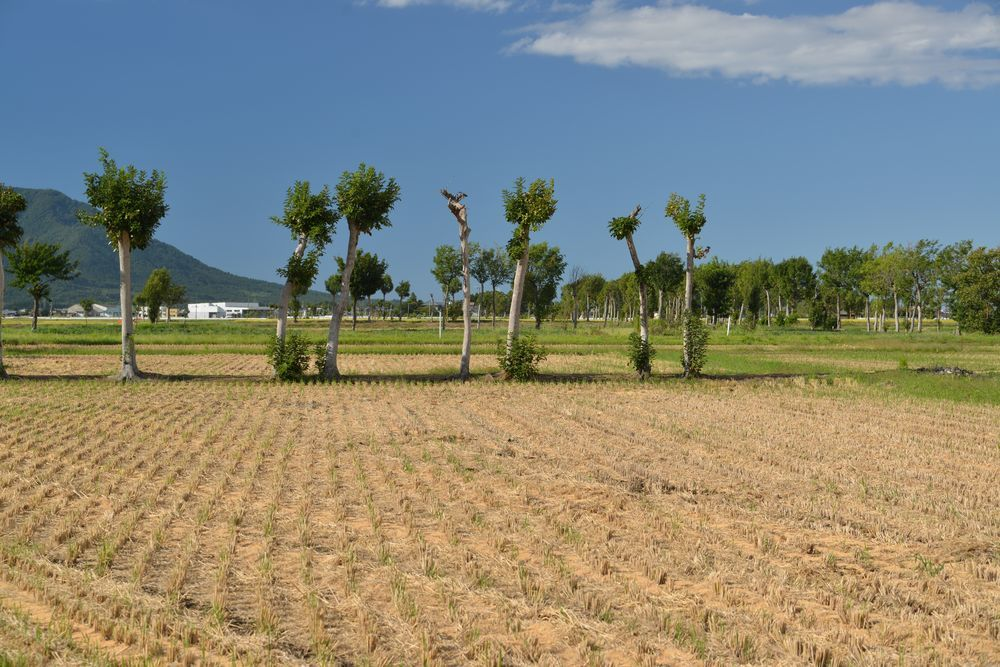 稲刈り期-5