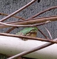 200516庭の蛙鳴き姿DSC_0096