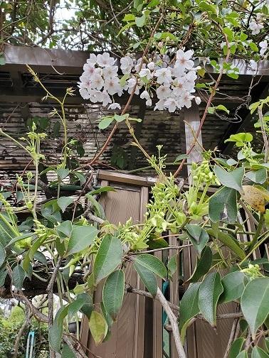 ソメイヨシノとムベの新芽