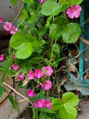 花かたばみ