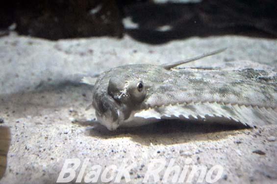 ババガレイ02 越前松島水族館