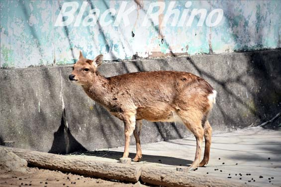 ニホンジカ02 和歌山城公園動物園