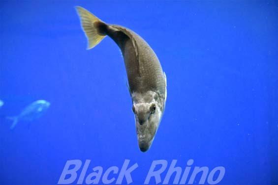 キツネフエフキ02 美ら海水族館