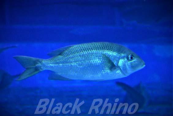 サザナミダイ01 美ら海水族館