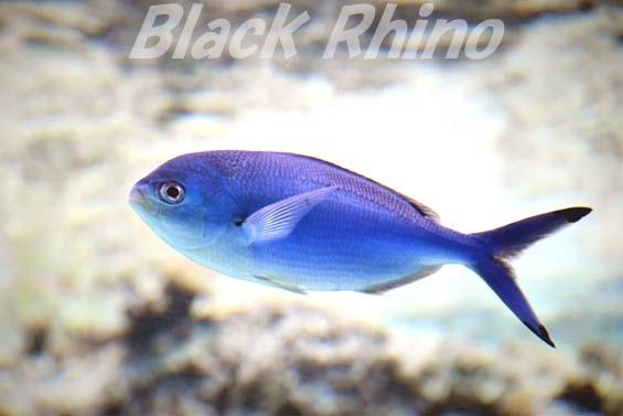 ハナタカサゴ02 美ら海水族館