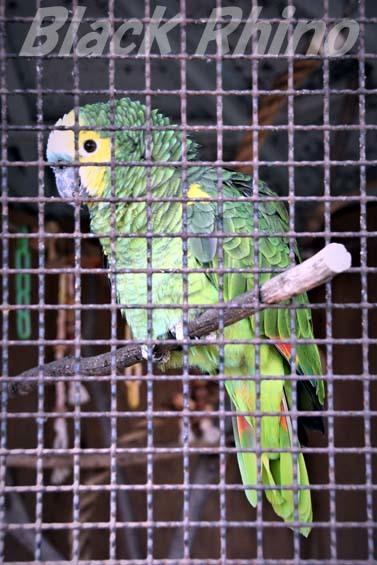 アオボウシインコ01 和歌山城公園動物園